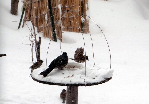 3月の雪と雀の餌台、ヒヨドリとムクドリなど_a0136293_16525266.jpg