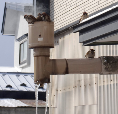 3月の雪と雀の餌台、ヒヨドリとムクドリなど_a0136293_16582711.jpg