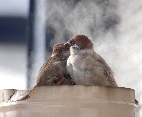 3月の雪と雀の餌台、ヒヨドリとムクドリなど_a0136293_16591195.jpg