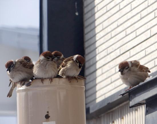 3月の雪と雀の餌台、ヒヨドリとムクドリなど_a0136293_1704340.jpg