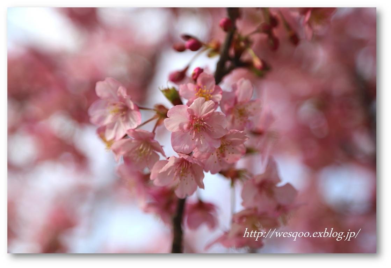 ☆河津桜と菜の花☆_a0161111_11252491.jpg
