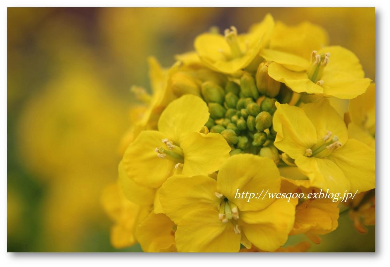 ☆河津桜と菜の花☆_a0161111_11261023.jpg
