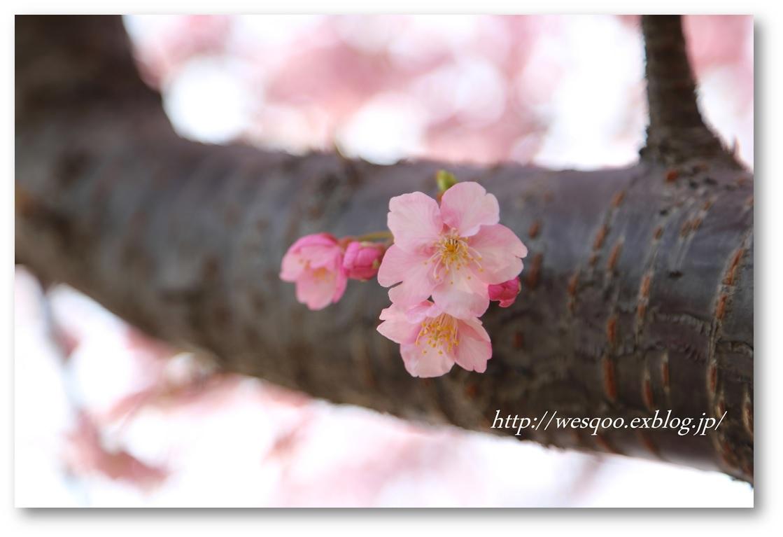 ☆河津桜と菜の花☆_a0161111_11264053.jpg