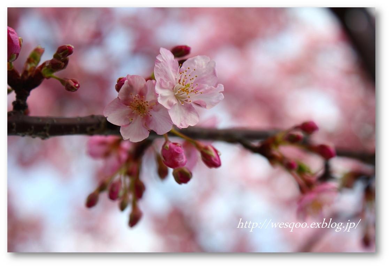 ☆河津桜と菜の花☆_a0161111_11273153.jpg