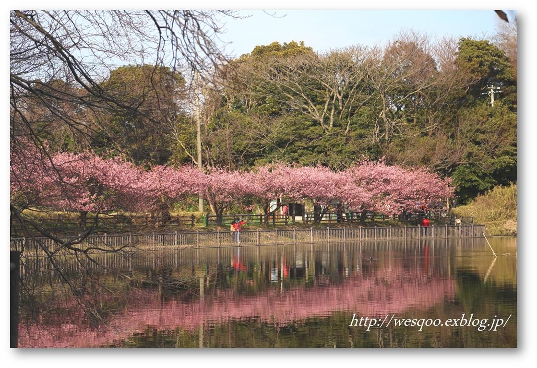 ☆河津桜と菜の花☆_a0161111_11314580.jpg
