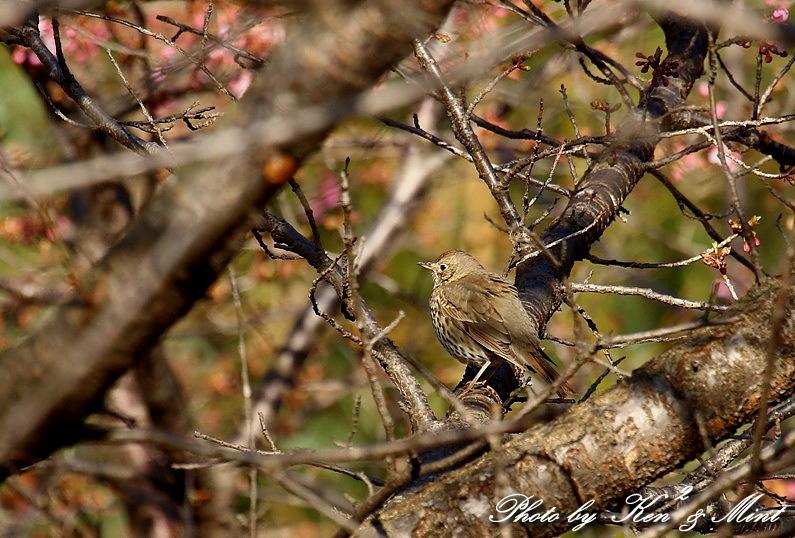 超珍鳥 「ウタツグミ」 さん~♪_e0218518_22381691.jpg