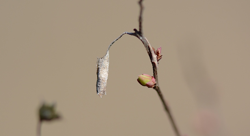 健在だったホシミスジ越冬幼虫(2014年3月11日) _d0303129_22341797.jpg