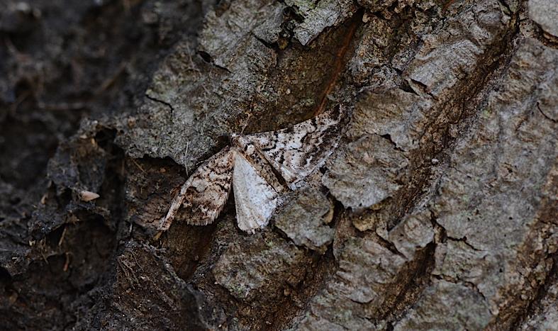 健在だったホシミスジ越冬幼虫(2014年3月11日) _d0303129_22342947.jpg