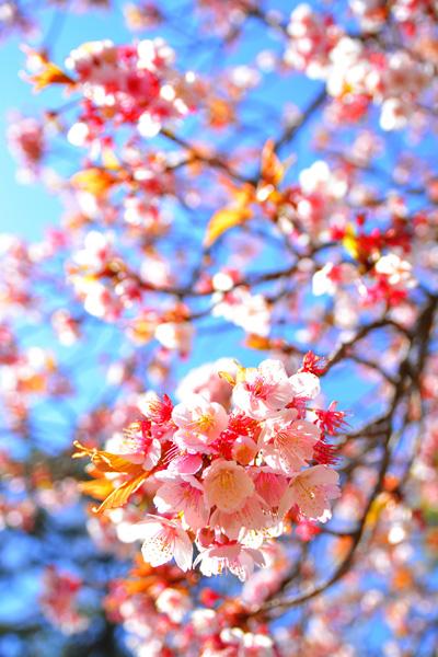3.11.2.46 寒桜_b0175635_2154345.jpg
