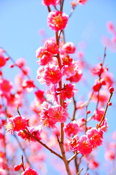 3.11.2.46 寒桜_b0175635_2154813.jpg
