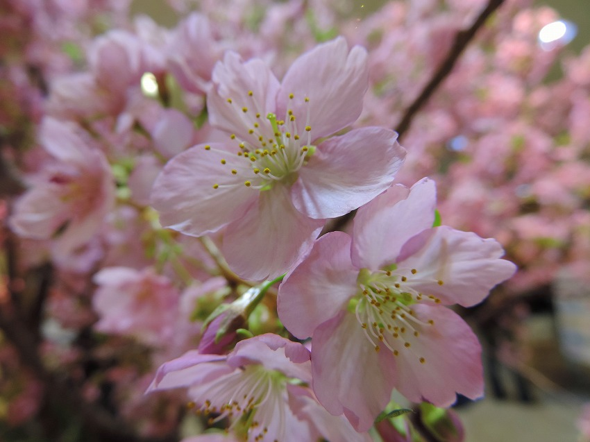 早咲きの桜_c0187781_00012830.jpg