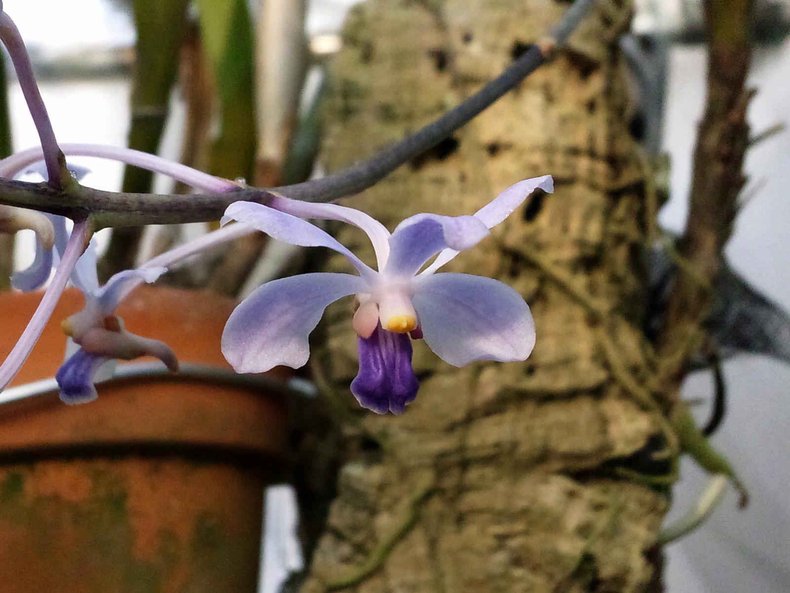 グレープの香り:V.coerulescens(バンダ・コウレッスセンス)_d0007501_928223.jpg