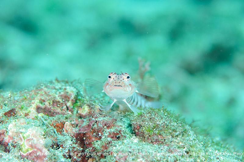 サンゴトラギスの魅力_b0186442_22101632.jpg