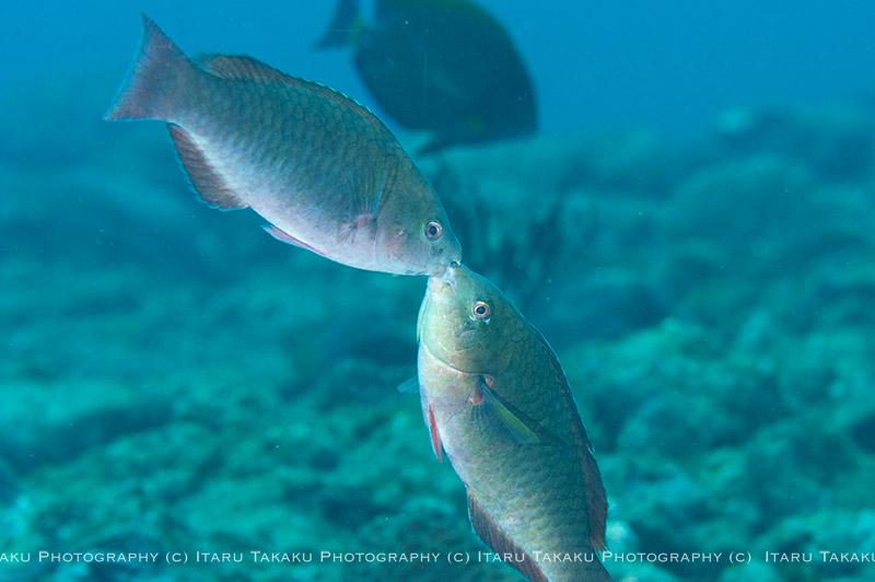 サンゴトラギスの魅力_b0186442_22112272.jpg