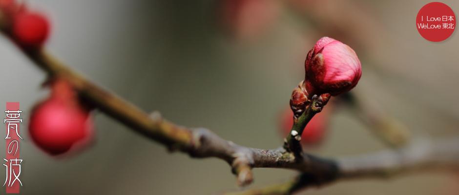 富山市「馬場記念公園」の南日梅林(3/9現在、今にも咲そうな蕾でした)_b0157849_12132478.jpg