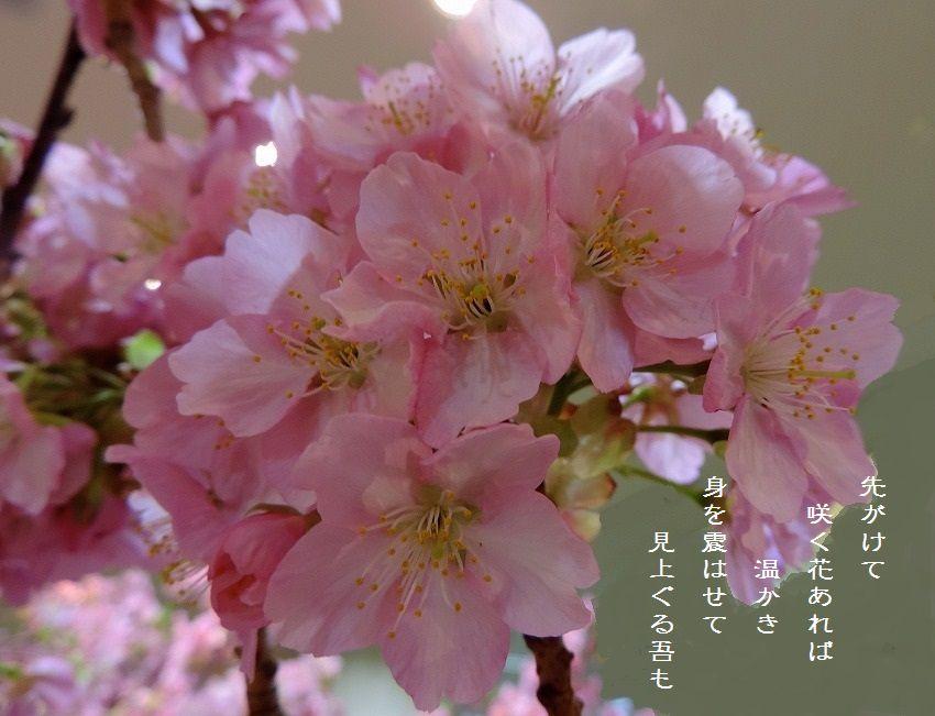 早咲きの桜_c0187781_21350874.jpg