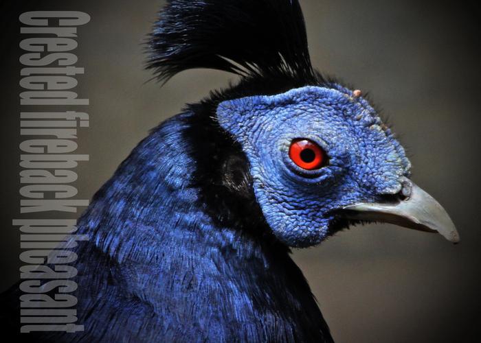 コシアカキジ:Crested fireback pheasant_b0249597_5154336.jpg