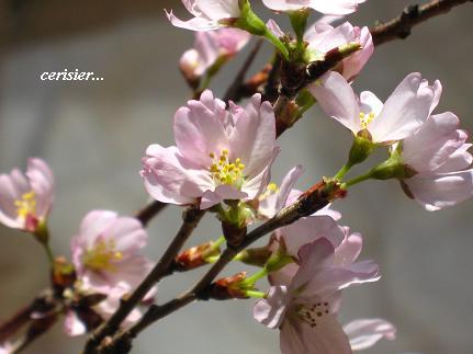 優しく包みこむ セラピーの桜・・・☆_c0098807_2121495.jpg