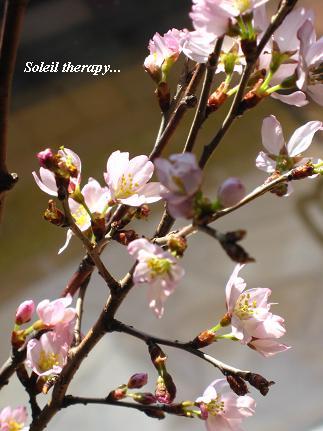 優しく包みこむ セラピーの桜・・・☆_c0098807_2153688.jpg