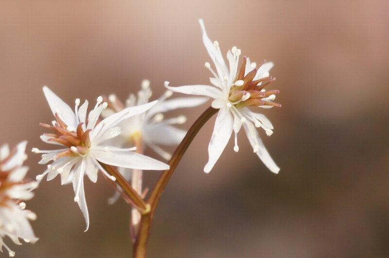 春の花☆セリバオウレン・コセリバオウレン・キクバオウレン_a0122932_13562588.jpg