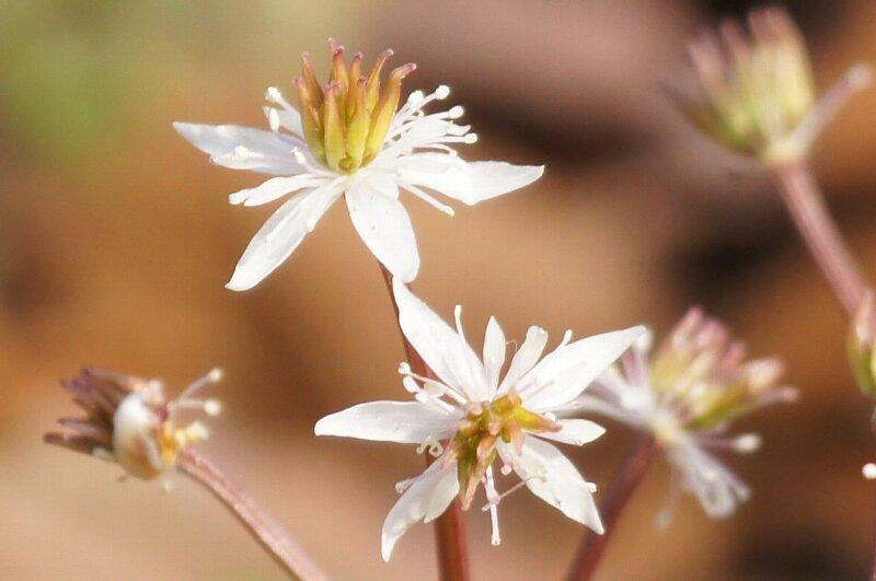 春の花☆セリバオウレン・コセリバオウレン・キクバオウレン_a0122932_14103926.jpg
