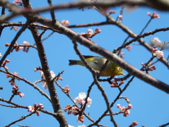 桜いろいろ....メジロも!_b0137932_13245440.jpg