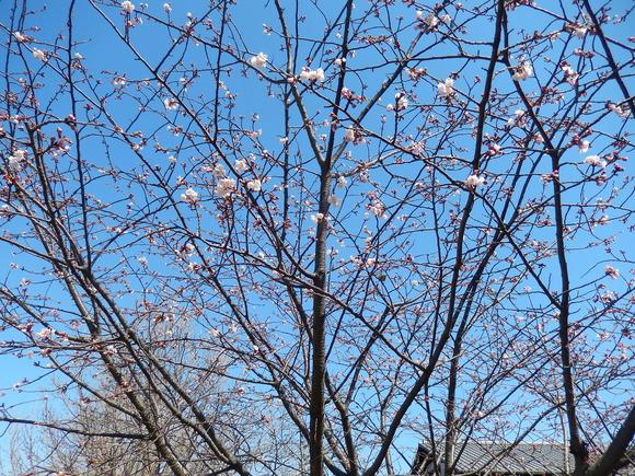 桜いろいろ....メジロも!_b0137932_13252594.jpg
