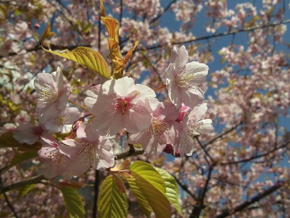 桜いろいろ....メジロも!_b0137932_23142894.jpg