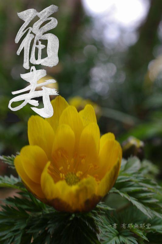 福寿草_a0157263_22174911.jpg