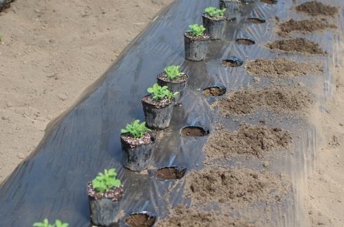 スナップエンドウを植える。_c0110869_6491841.jpg
