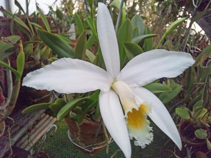 L. jongheana  alba _d0007501_1713976.jpg