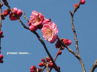 春を開く、梅の花が咲くとき・・・☆_c0098807_19591876.jpg