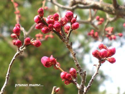 春を開く、梅の花が咲くとき・・・☆_c0098807_20171252.jpg