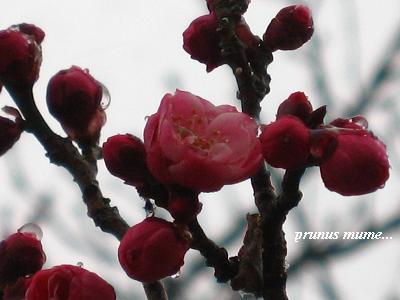 春を開く、梅の花が咲くとき・・・☆_c0098807_20273082.jpg