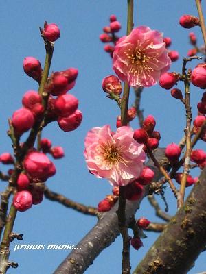 春を開く、梅の花が咲くとき・・・☆_c0098807_2052249.jpg