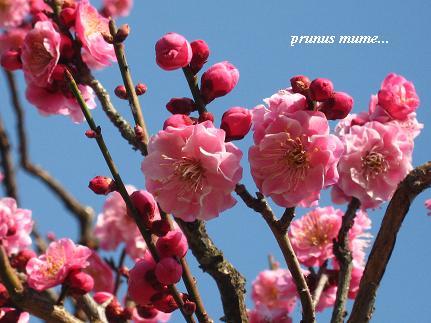 春を開く、梅の花が咲くとき・・・☆_c0098807_2132642.jpg