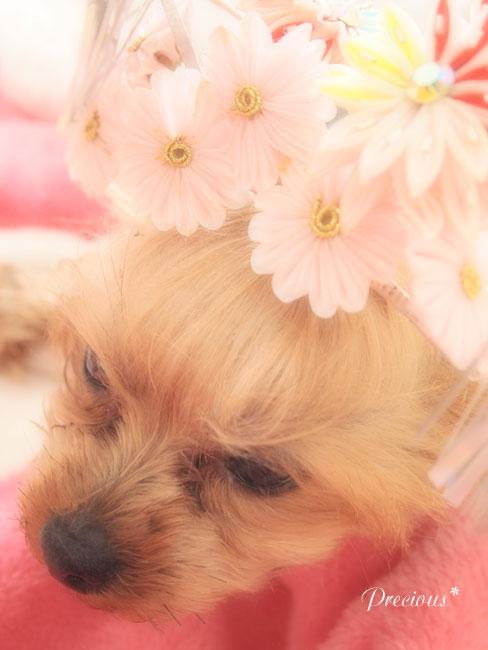 DOG PHOTO#87:CHERI姫。_c0101341_10361542.jpg
