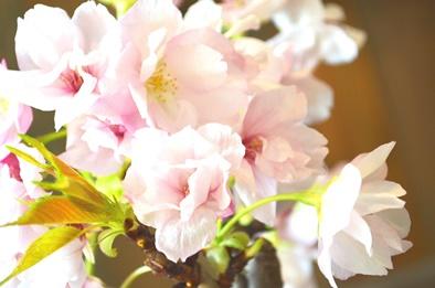 さくら盆栽展 ありがとうございました_d0263815_15232919.jpg
