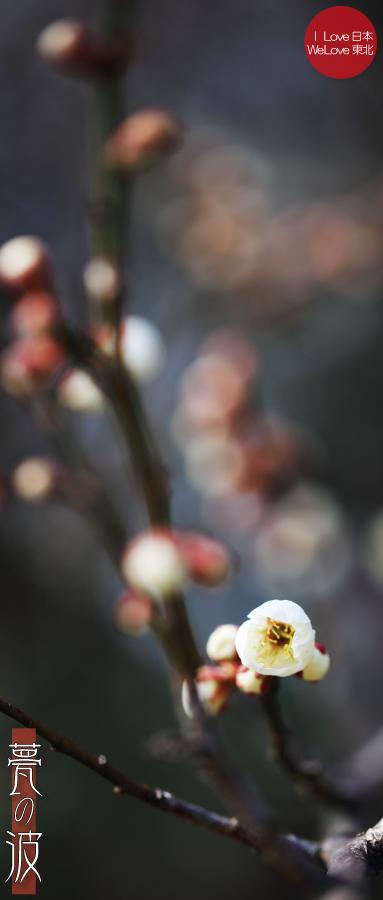 富山市「馬場記念公園」の南日梅林(3/16現在、白梅の咲き具合チラホラでした)_b0157849_12091266.jpg