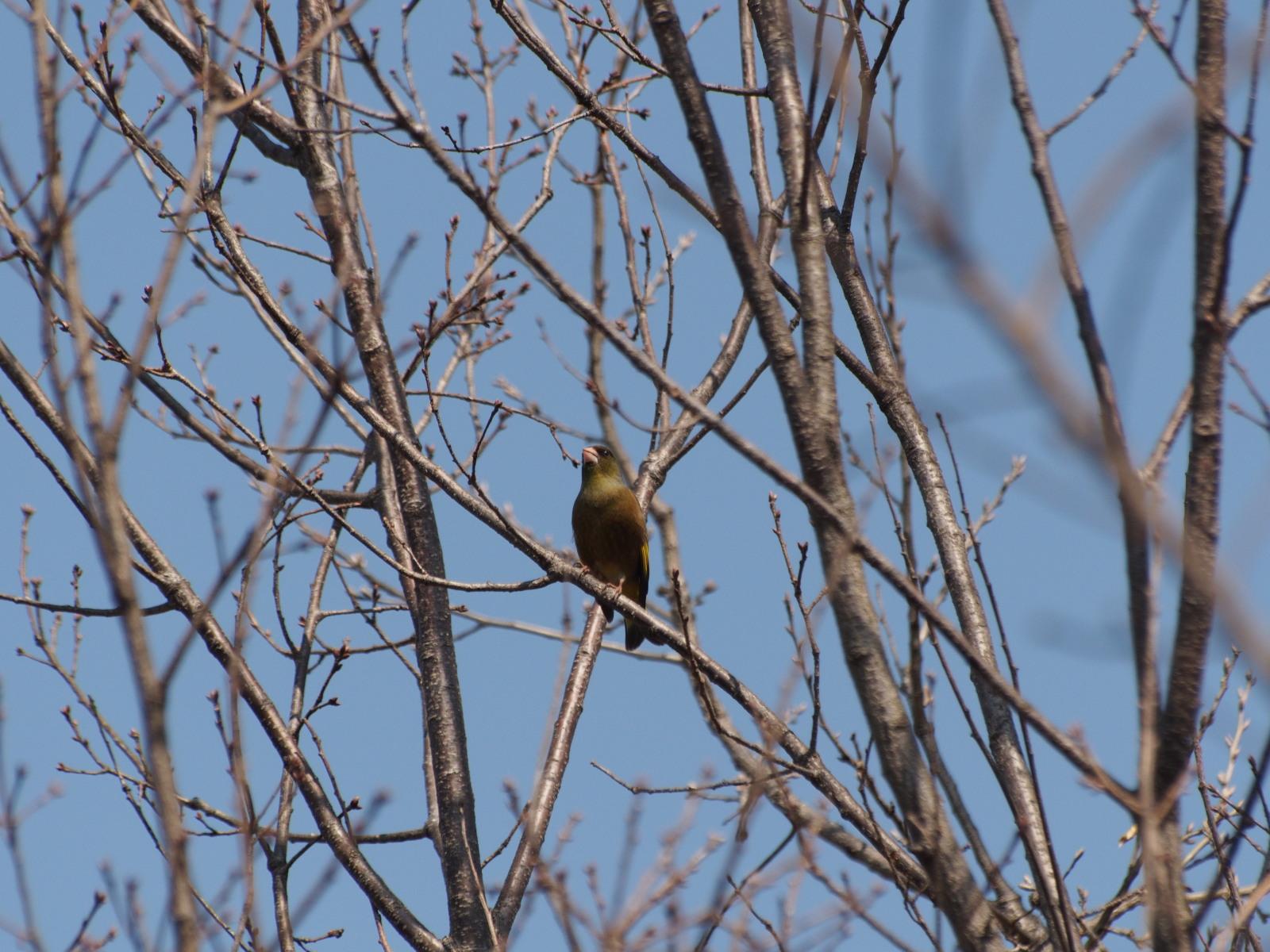2014年3月17日 カワラヒワ/河原鶸/Oriental Greenfinch_f0108797_16063246.jpg