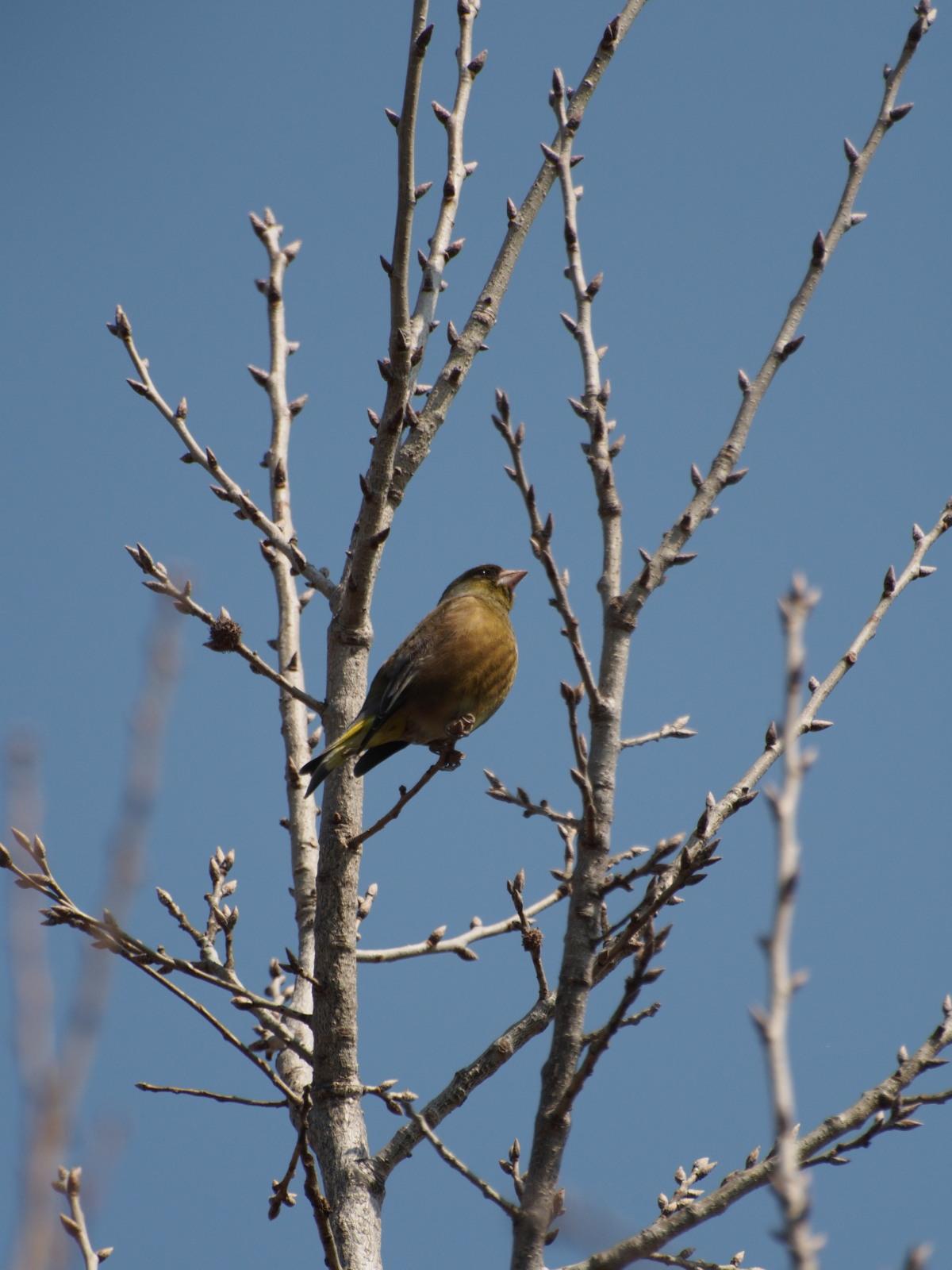 2014年3月17日 カワラヒワ/河原鶸/Oriental Greenfinch_f0108797_16065150.jpg