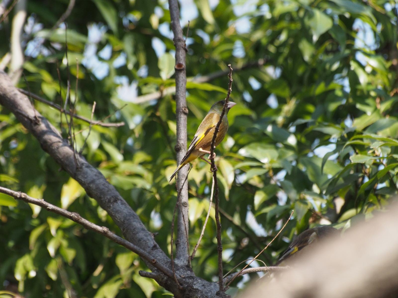 2014年3月17日 カワラヒワ/河原鶸/Oriental Greenfinch_f0108797_16070751.jpg