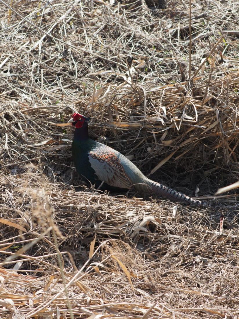 2014年3月17日 カワラヒワ/河原鶸/Oriental Greenfinch_f0108797_16092705.jpg