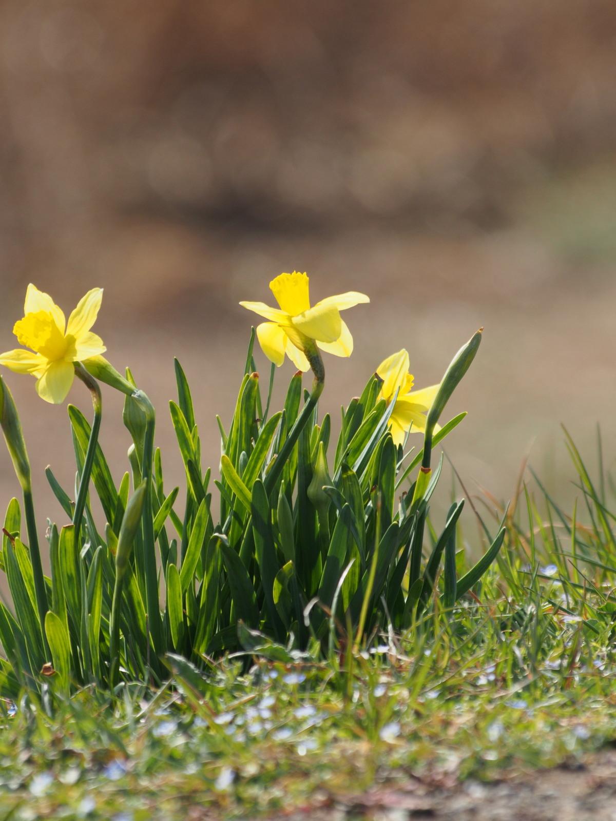 2014年3月17日 カワラヒワ/河原鶸/Oriental Greenfinch_f0108797_16142454.jpg
