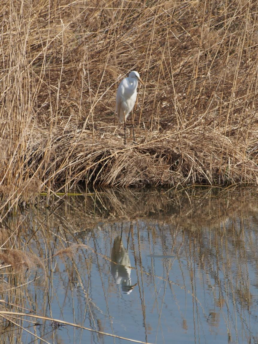 2014年3月17日 カワラヒワ/河原鶸/Oriental Greenfinch_f0108797_16162031.jpg