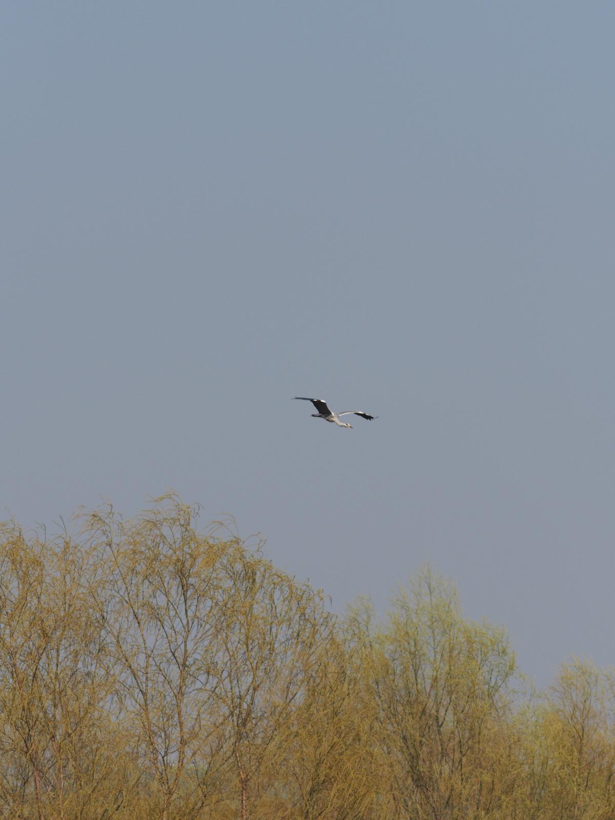 2014年3月17日 カワラヒワ/河原鶸/Oriental Greenfinch_f0108797_16174572.jpg