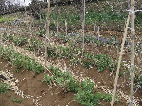 えんどう豆の支柱...._b0137932_16404696.jpg