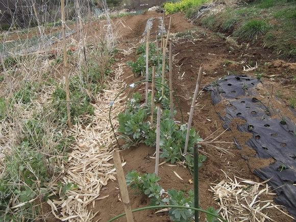 えんどう豆の支柱...._b0137932_1641155.jpg