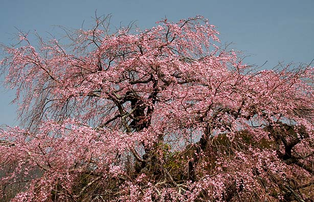 荷坂峠のしだれ桜_b0186680_16272572.jpg