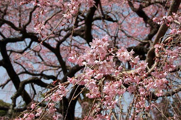 荷坂峠のしだれ桜_b0186680_16273038.jpg